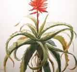 Dipinto ad acquerello su carta raffigurante disegno botanico di Aloe-arborescens | Mara Beccaris Genova
