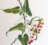 Dipinto ad acquerello su carta raffigurante disegno botanico di Salsaparigli| Mara Beccaris Genova