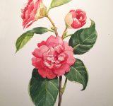 Dipinto ad acquerello su carta raffigurante Camelia Japonica| Mara Beccaris Genova